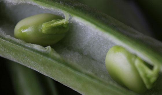 Pitagora e il tabù delle fave